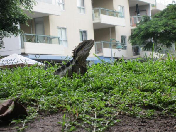 Brisbane, Lizard