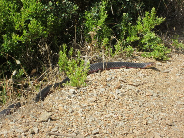 Australia - Cape Shanck, Snake