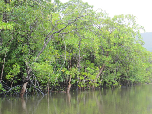 Australia - Cape Tribulation, Mangrove Trees