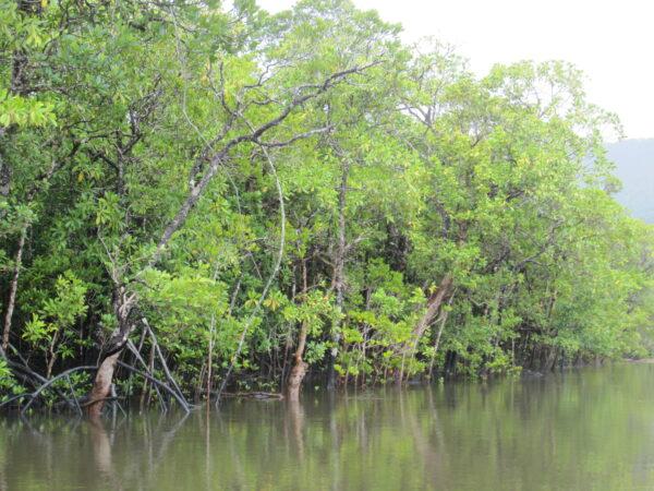 Australia - Cape Tribulation, Mangrove Trees