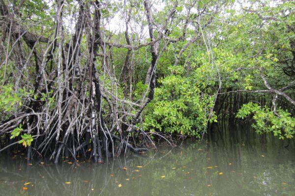 Australia - Cape Tribulation, Mangrove Roots