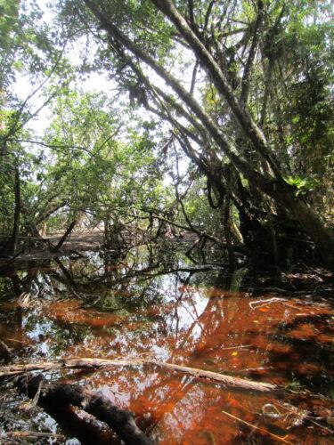 Australia - Cape Tribulation, Swamp
