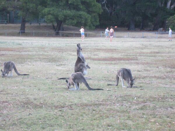 Australia - Grampians, Kangaroos