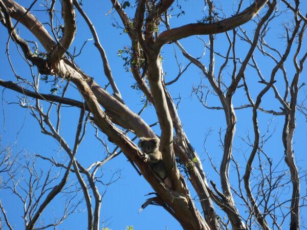 Australia - Great Ocean Road, Koala