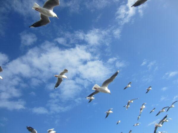 Australia - Phillip Island, Gulls