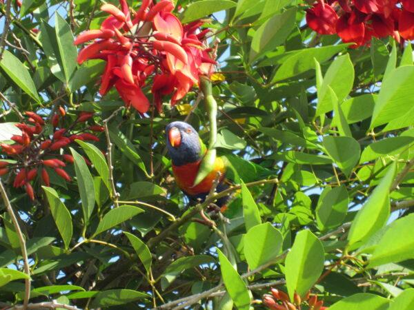 Sydney, Parrot