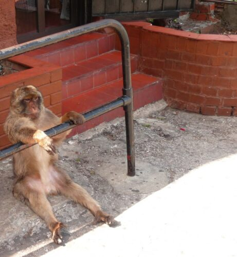 Gibraltar, Boss Monkey