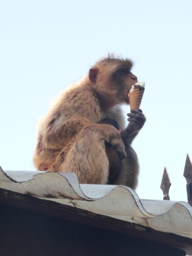 Gibraltar, Eating Icecream Monkey