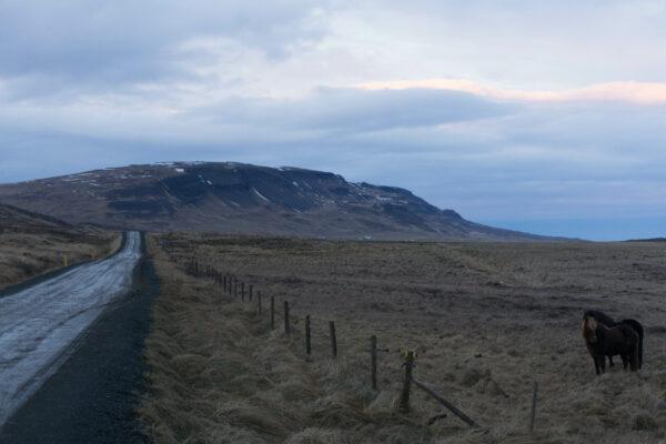 Icelandic Horses On The Road