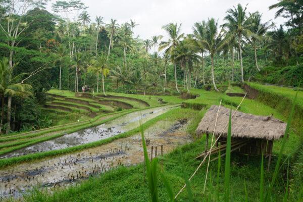 Indonesia - Bali, Gunung Kawi Rice Terrace