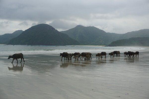 Indonesia - Lombok, Cows On Beach