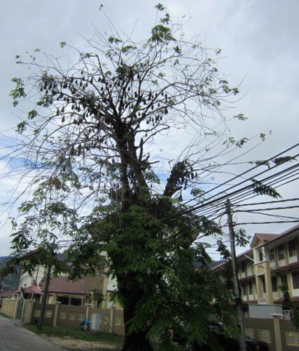 Malaysia - Tioman Island, Flying Foxes In Tree