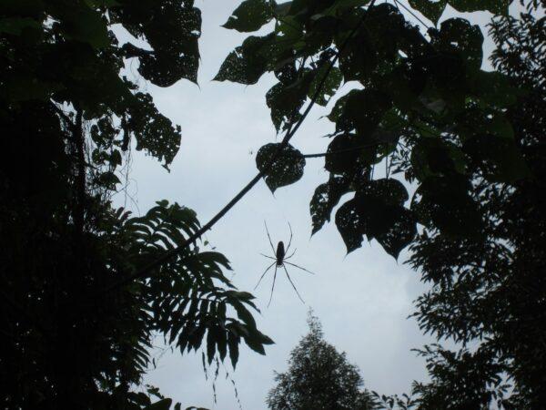Malaysia - Tioman Island, Big Spider In Jungle