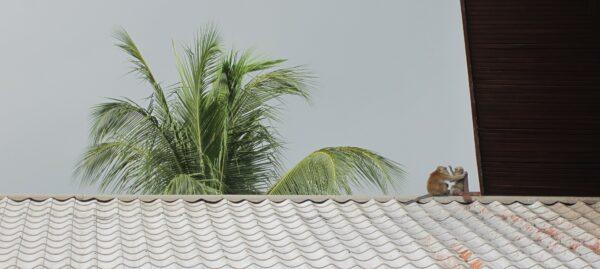 Malaysia - Tioman Island, Monkeys On Rooftop