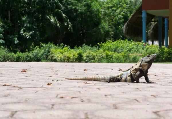 Mexico - Yucatan, Iguana