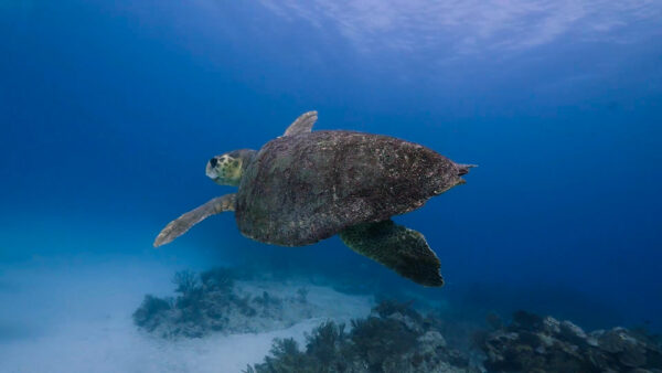Mexico - Yucatan, Loggerhead Sea Turtle
