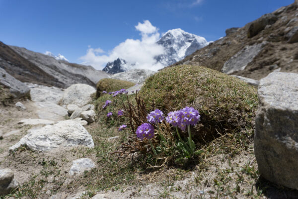Nepal, Flowers In Front Of Mountains
