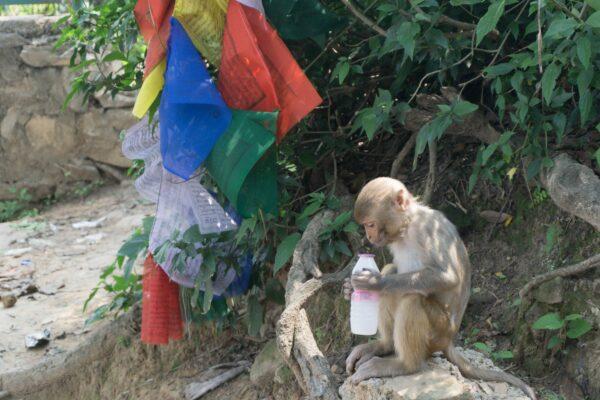 Nepal - Kathmandu, Monkey At Swayambhunath (Monkey Temple)
