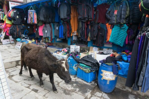Nepal - Namche Bazaar, Cow At Supermarket