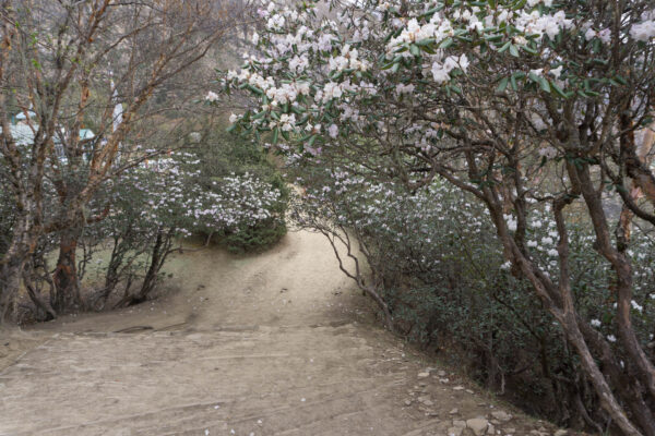 Nepal, Path Through Rhododendrons
