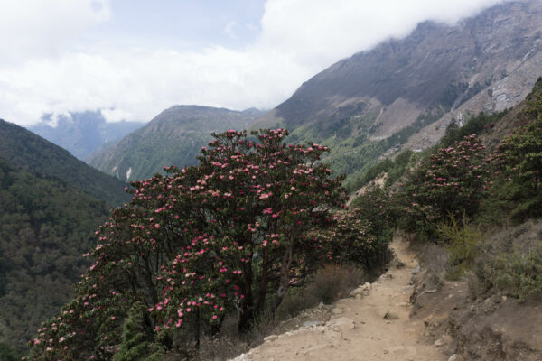 Nepal, Rhododendron Tree