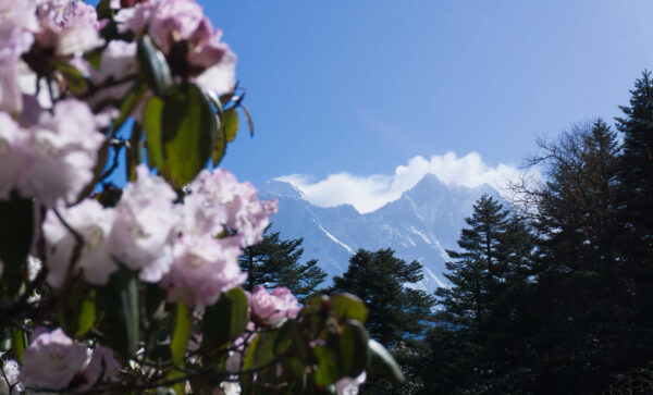 Nepal, Rhododendrons View To Mount Everest