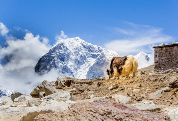 Nepal, Yak In Front Of Himalaya
