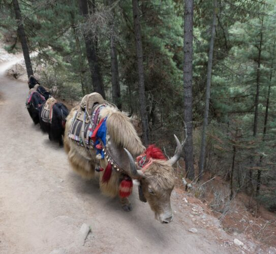Nepal, Yaks Crossing