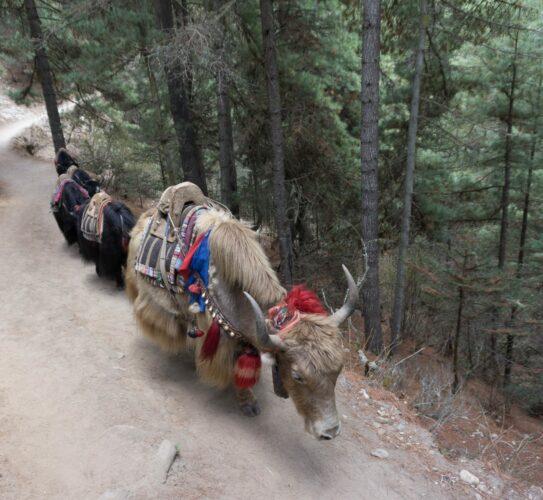 Nepal, Yaks Crossing