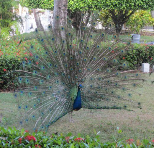 Republica Dominicana, Peacock