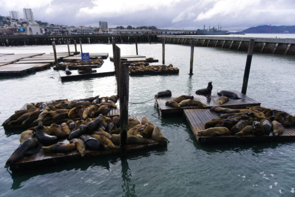 San Francisco, Sea Lions At Pier 39
