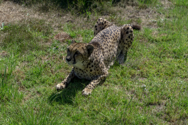 South Africa, Cheetah At Enikwa Wildlife Rehabilitation And Awareness Center