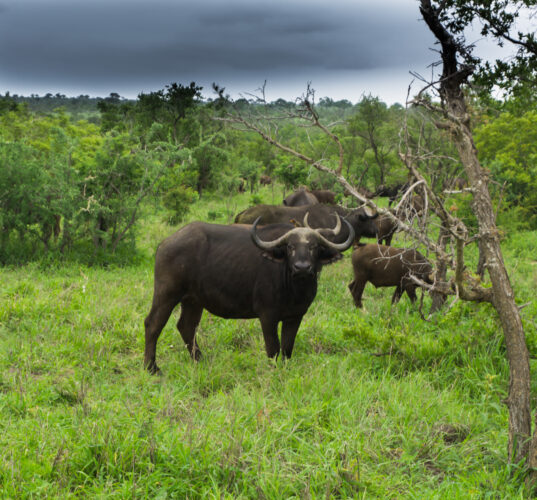 South Africa - Kruger National Park, Buffalos