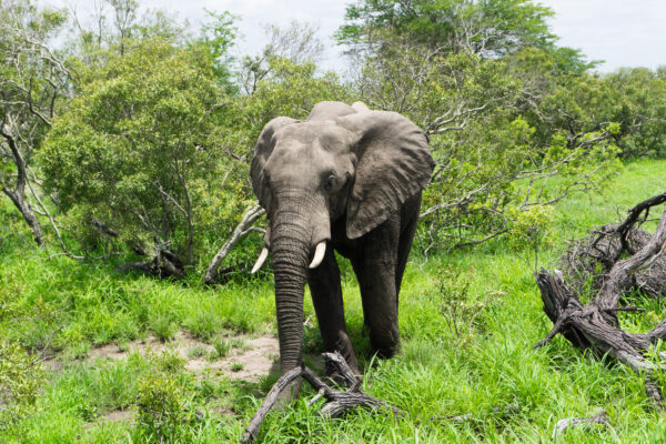 South Africa - Kruger National Park, Elephant