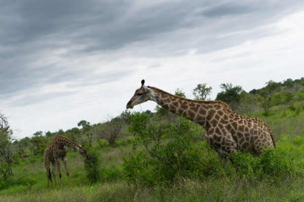 South Africa - Kruger National Park, Giraffes