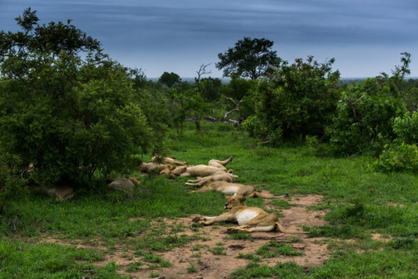 South Africa - Kruger National Park, Lions