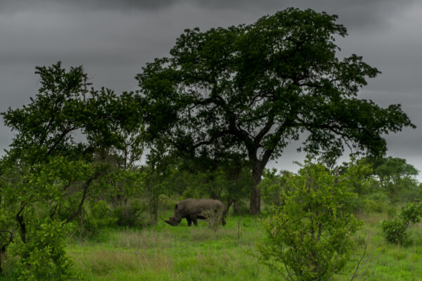 South Africa - Kruger National Park, Rhino