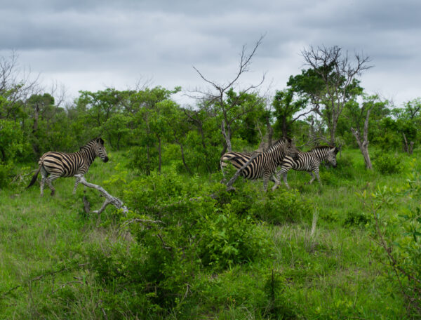 South Africa - Kruger National Park, Zebras