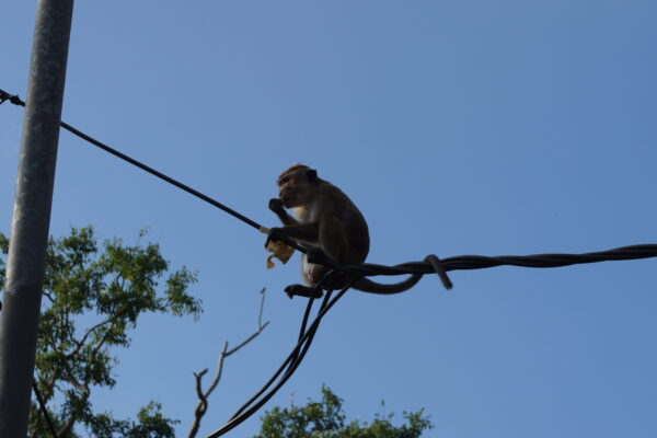 Sri Lanka, Monkey Eating