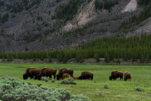Yellowstone National Park, Bisons