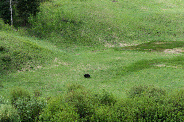 Yellowstone National Park, Black Bear
